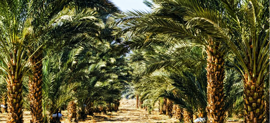 Medjool Date Palms, The King of Palm Trees.